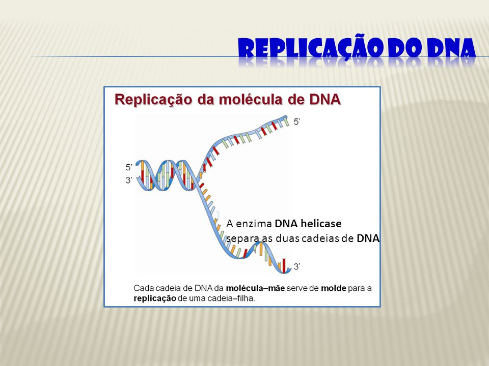 A enzima DNA helicase separa as duas cadeias de DNA