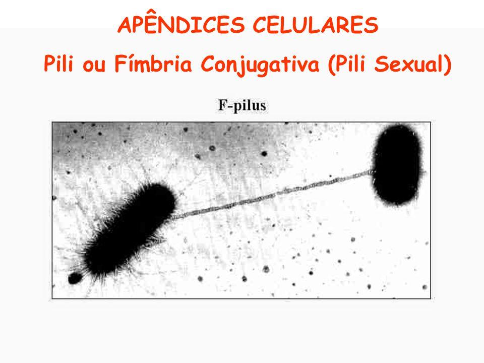 APÊNDICES CELULARES Pili ou Fímbria Conjugativa (Pili Sexual)
