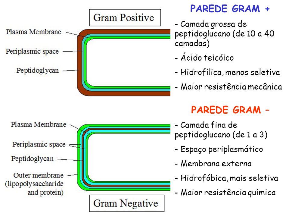 PAREDE GRAM + - Camada grossa de peptidoglucano (de 10 a 40 camadas) - Ácido teicóico - Hidrofílica, menos seletiva - Maior resistência mecânica PARED