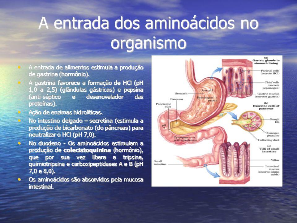 A entrada dos aminoácidos no organismo A entrada de alimentos estimula a produção de gastrina (hormônio).