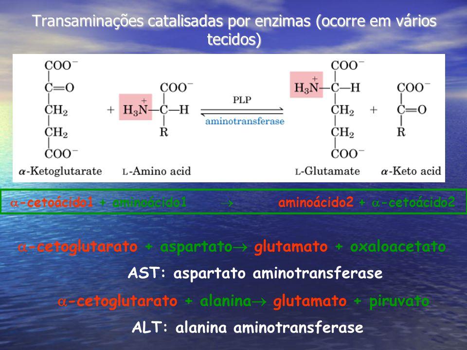 Transaminações catalisadas por enzimas (ocorre em vários tecidos) -cetoácido1 + aminoácido1 aminoácido2 + -cetoácido2 -cetoglutarato + aspartato glutamato + oxaloacetato AST: aspartato aminotransferase -cetoglutarato + alanina glutamato + piruvato ALT: alanina aminotransferase