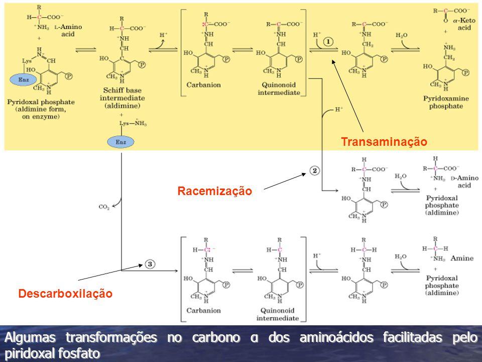 Algumas transformações no carbono α dos aminoácidos facilitadas pelo piridoxal fosfato Transaminação Racemização Descarboxilação