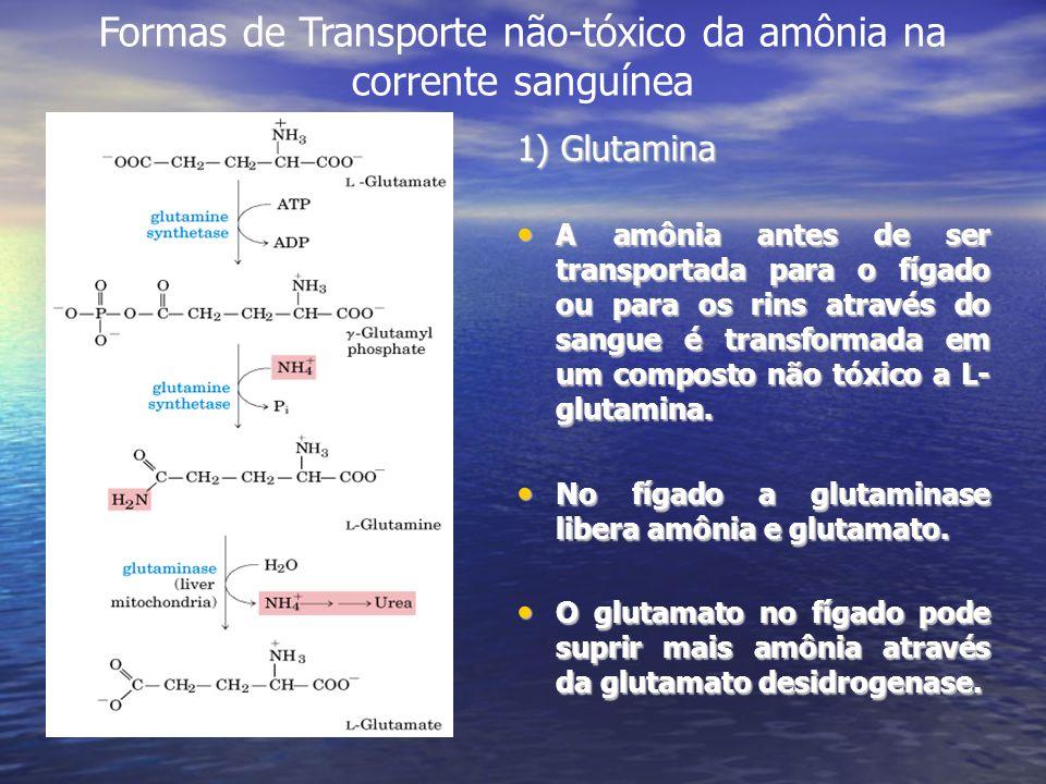 1) Glutamina A amônia antes de ser transportada para o fígado ou para os rins através do sangue é transformada em um composto não tóxico a L- glutamin