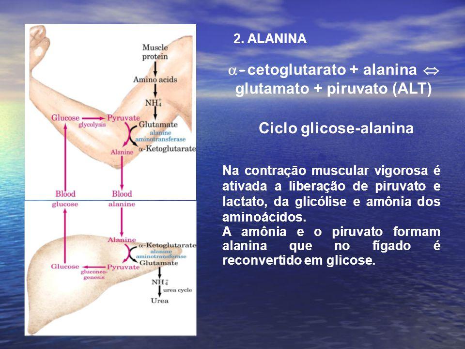 Ciclo glicose-alanina - cetoglutarato + alanina glutamato + piruvato (ALT) Na contração muscular vigorosa é ativada a liberação de piruvato e lactato, da glicólise e amônia dos aminoácidos.