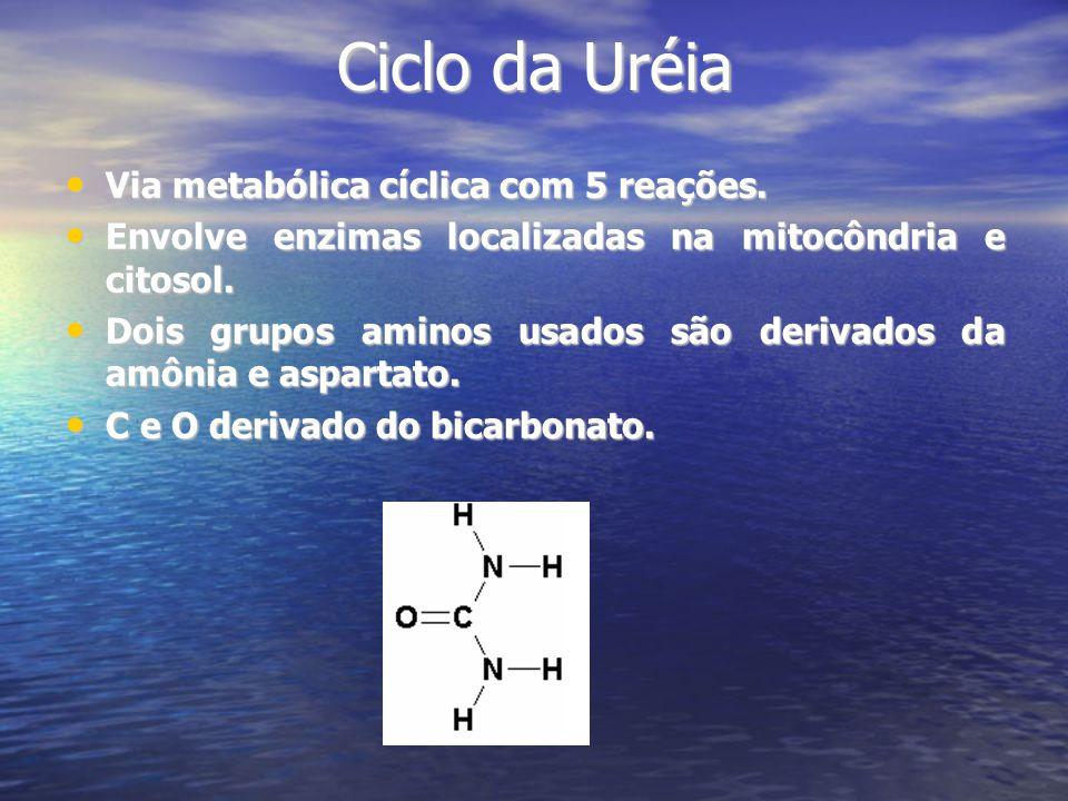 Ciclo da Uréia Via metabólica cíclica com 5 reações. Via metabólica cíclica com 5 reações. Envolve enzimas localizadas na mitocôndria e citosol. Envol