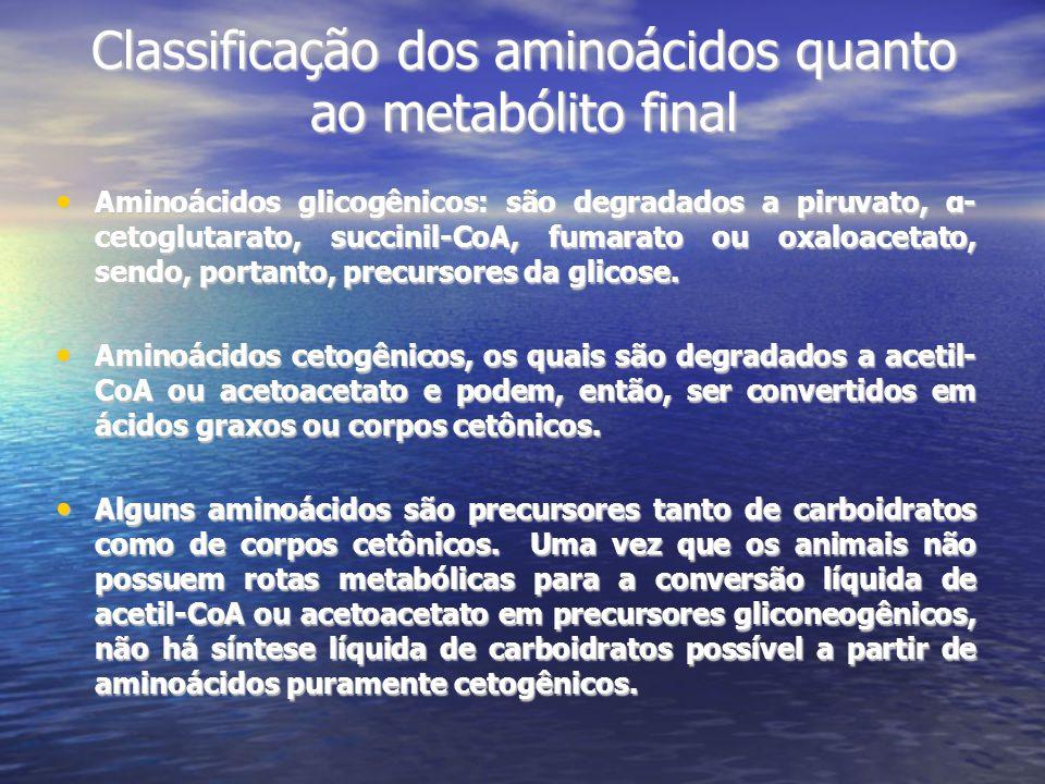 Classificação dos aminoácidos quanto ao metabólito final Aminoácidos glicogênicos: são degradados a piruvato, α- cetoglutarato, succinil-CoA, fumarato ou oxaloacetato, sendo, portanto, precursores da glicose.