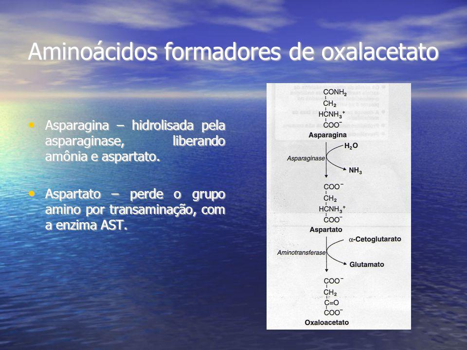 Aminoácidos formadores de oxalacetato Asparagina – hidrolisada pela asparaginase, liberando amônia e aspartato. Asparagina – hidrolisada pela asparagi