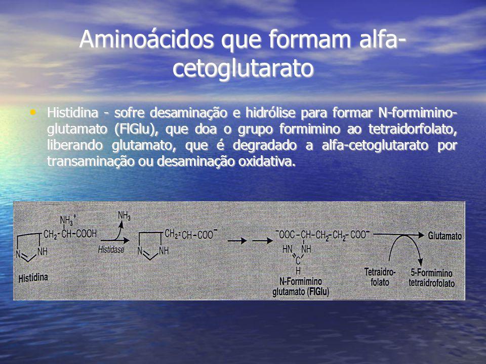 Aminoácidos que formam alfa- cetoglutarato Histidina - sofre desaminação e hidrólise para formar N-formimino- glutamato (FlGlu), que doa o grupo formimino ao tetraidorfolato, liberando glutamato, que é degradado a alfa-cetoglutarato por transaminação ou desaminação oxidativa.