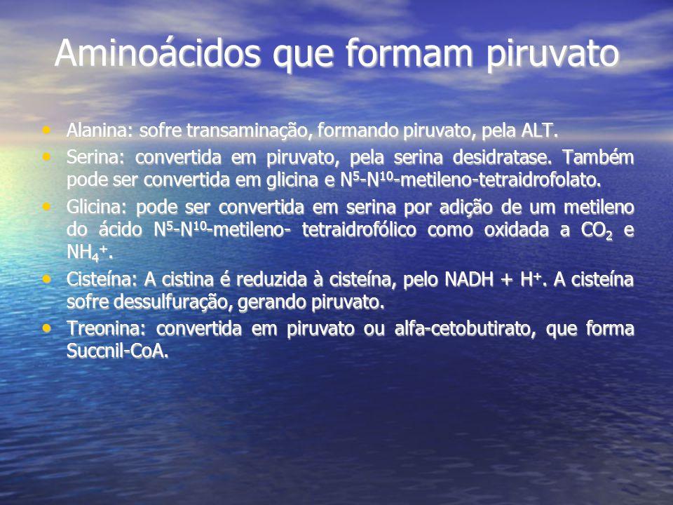 Aminoácidos que formam piruvato Alanina: sofre transaminação, formando piruvato, pela ALT. Alanina: sofre transaminação, formando piruvato, pela ALT.