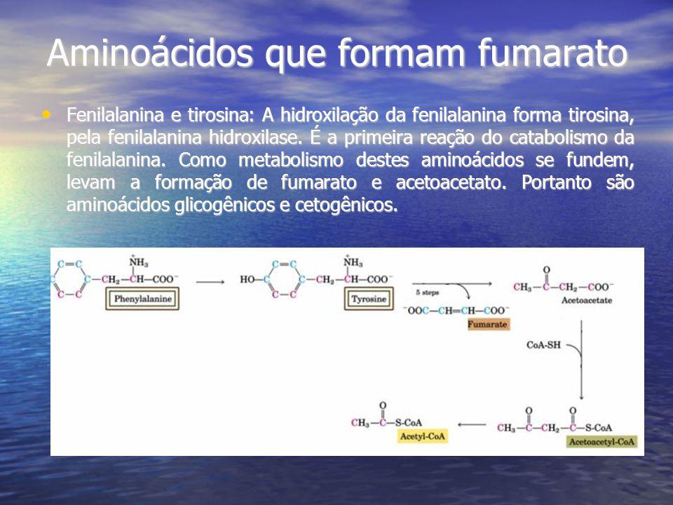 Aminoácidos que formam fumarato Fenilalanina e tirosina: A hidroxilação da fenilalanina forma tirosina, pela fenilalanina hidroxilase. É a primeira re