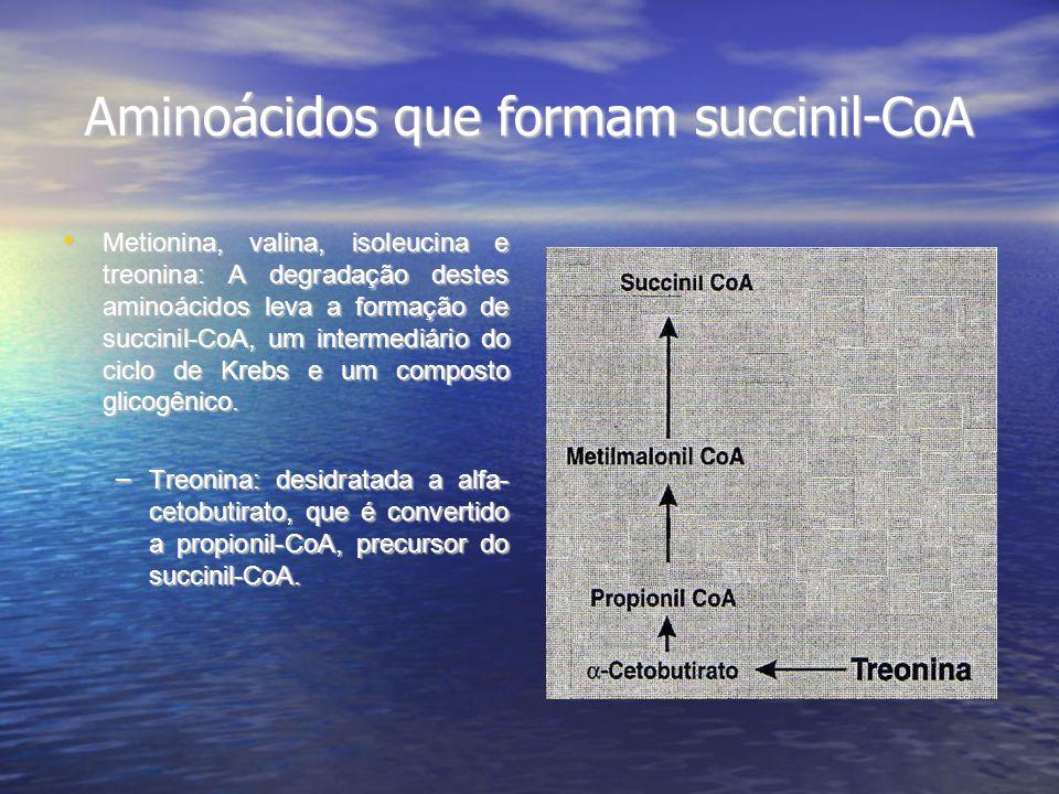Aminoácidos que formam succinil-CoA Metionina, valina, isoleucina e treonina: A degradação destes aminoácidos leva a formação de succinil-CoA, um inte