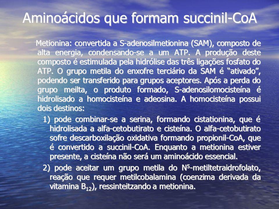 Aminoácidos que formam succinil-CoA Metionina: convertida a S-adenosilmetionina (SAM), composto de alta energia, condensando-se a um ATP. A produção d