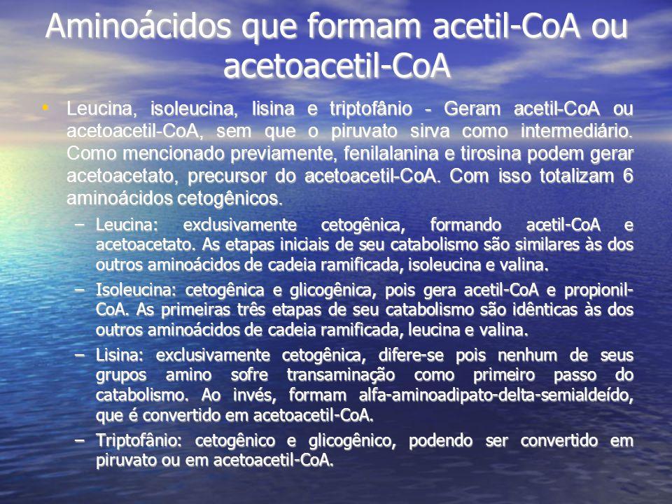 Aminoácidos que formam acetil-CoA ou acetoacetil-CoA Leucina, isoleucina, lisina e triptofânio - Geram acetil-CoA ou acetoacetil-CoA, sem que o piruvato sirva como intermediário.