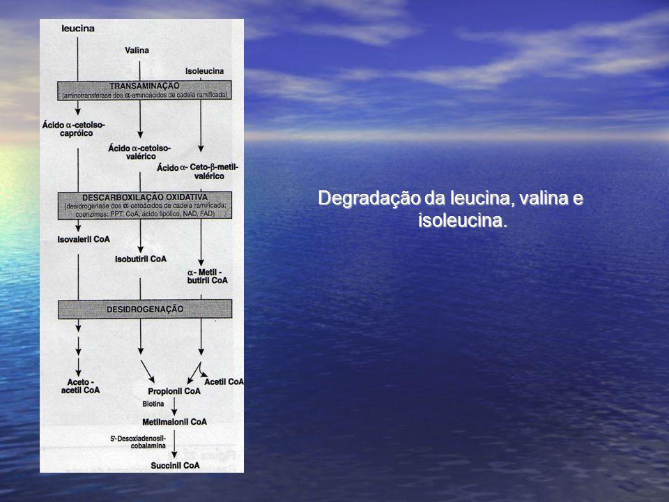 Degradação da leucina, valina e isoleucina.