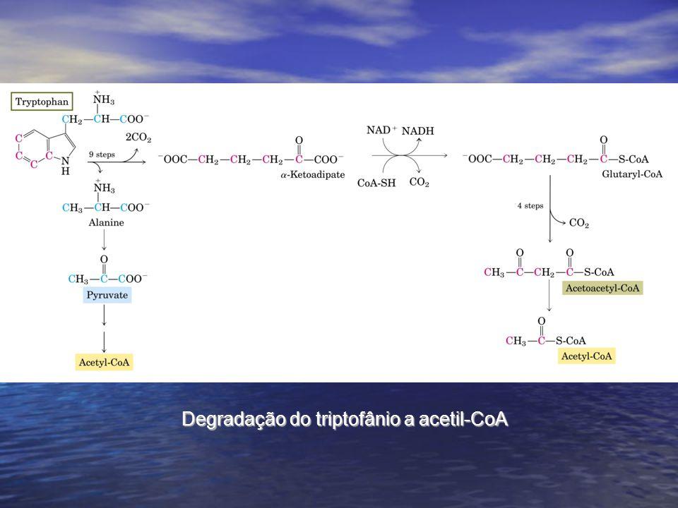 Degradação do triptofânio a acetil-CoA