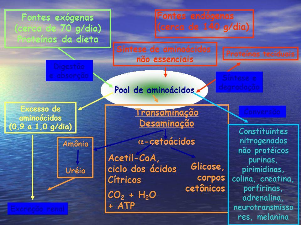 Fontes endógenas (cerca de 140 g/dia) Pool de aminoácidos Síntese de aminoácidos não essenciais Fontes exógenas (cerca de 70 g/dia) Proteínas da dieta Digestão e absorção Excesso de aminoácidos (0,9 a 1,0 g/dia) Excreção renal Amônia Uréia Transaminação Desaminação -cetoácidos Glicose, corpos cetônicos Acetil-CoA, ciclo dos ácidos Cítricos CO 2 + H 2 O + ATP Proteínas teciduais Síntese e degradação Constituintes nitrogenados não protéicos purinas, pirimidinas, colina, creatina, porfirinas, adrenalina, neurotransmisso res, melanina Conversão
