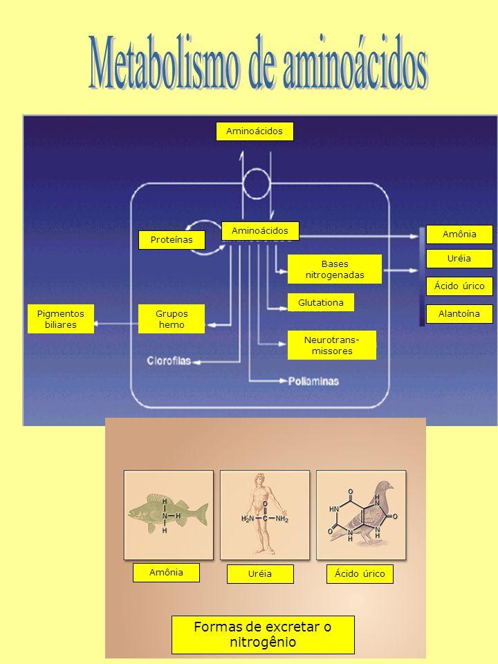Pigmentos biliares Grupos hemo Bases nitrogenadas Glutationa Formas de excretar o nitrogênio Neurotrans- missores Amônia UréiaÁcido úrico Amônia Uréia