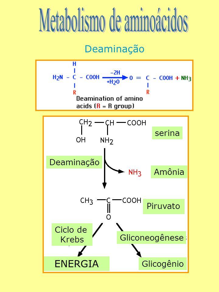 Deaminação serina Amônia Piruvato Ciclo de Krebs Deaminação Gliconeogênese Glicogênio ENERGIA