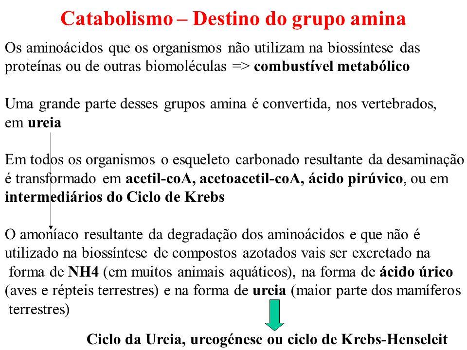 Catabolismo – Destino do grupo amina Os aminoácidos que os organismos não utilizam na biossíntese das proteínas ou de outras biomoléculas => combustív