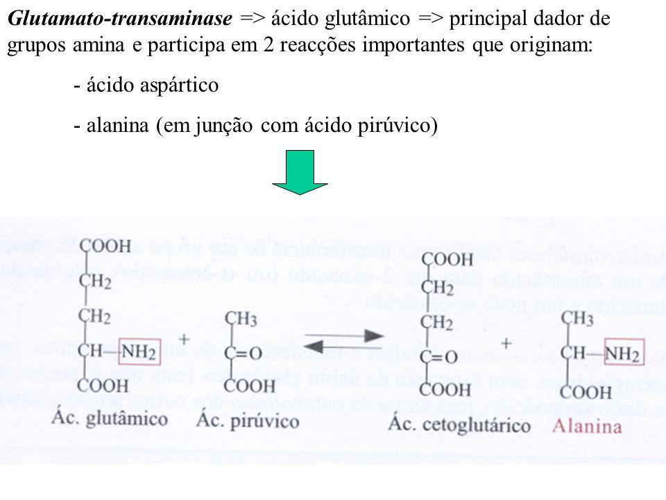 Glutamato-transaminase => ácido glutâmico => principal dador de grupos amina e participa em 2 reacções importantes que originam: - ácido aspártico - a