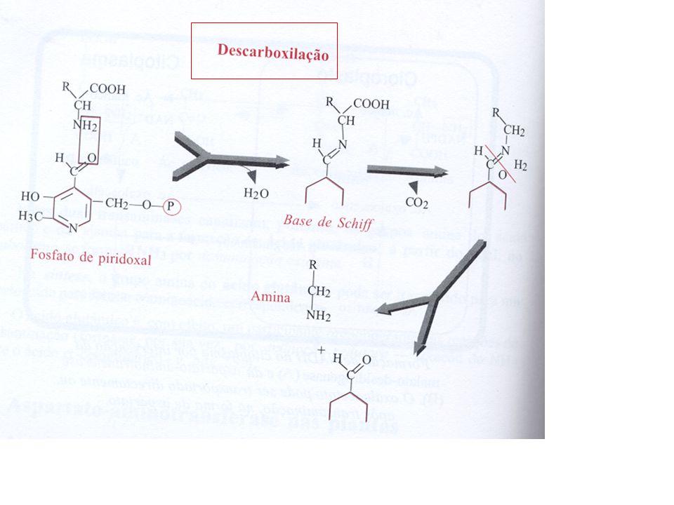 Desaminação Pode ocorrer por um processo geral – desaminação oxidante – ou por processos particulares e específicos de determinados aminoácidos Serina, treonina e cisteína (desaminadas directamente) => podem ser convertidos directamente em amoníaco Por desaminação forma-se o ácido pirúvico Outro produto final da desaminação para além do amoníaco é o ácido alfa- Cetobutírico => aminocatenona => ácido pirúvico