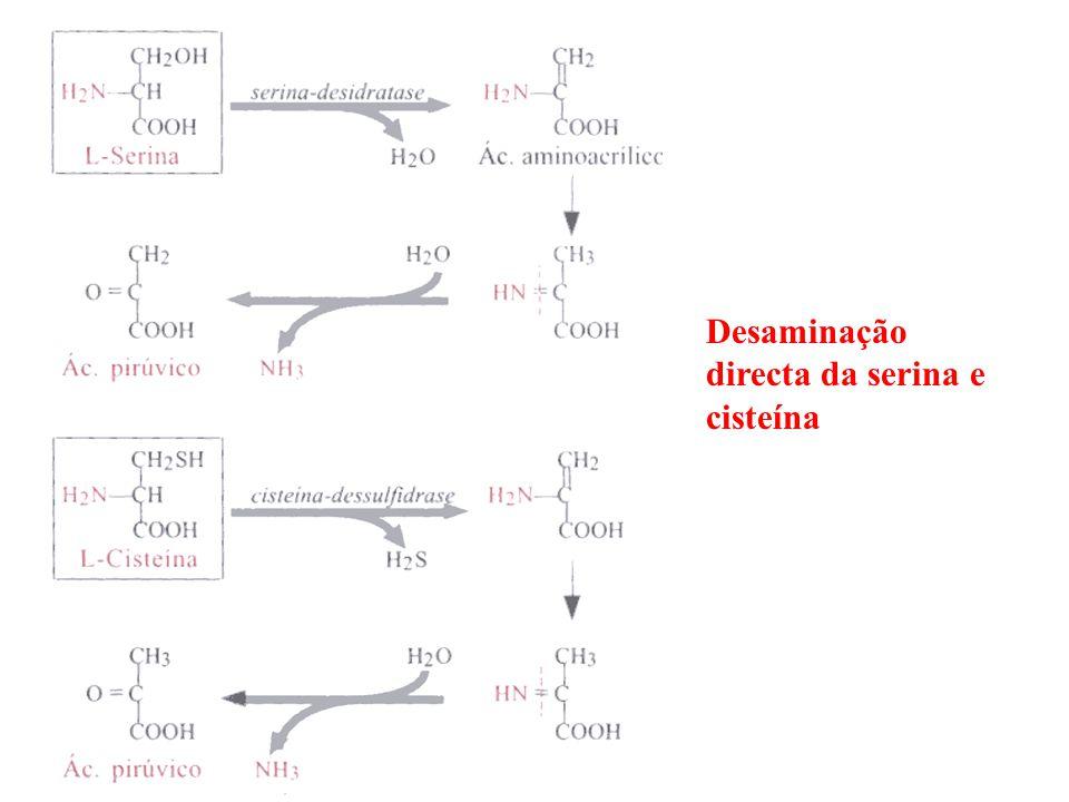 Desaminação reversível do ácido aspártico Processo particular de desaminação porque para além da conversão de ácido aspártico em ácido fumárico permite a fixação de NH3 num composto orgânico Ponto de entrada no ciclo de Krebs de metade dos átomos de carbono da tirosina e da fenilalanina
