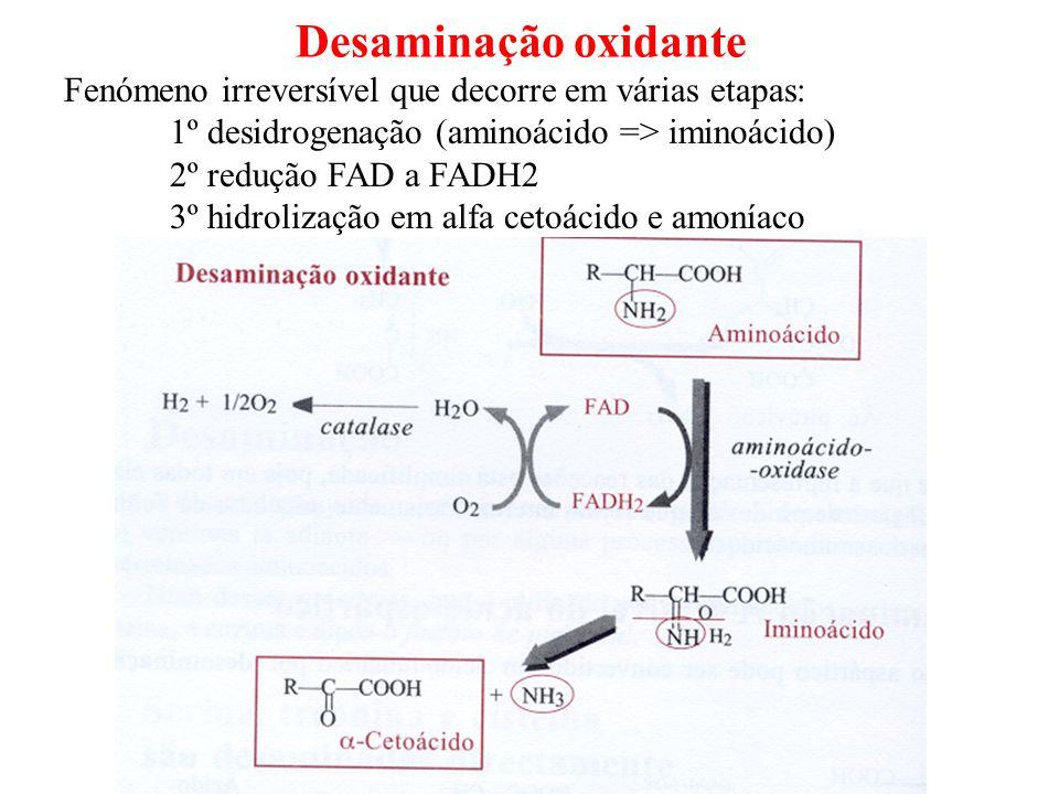 Desaminação oxidante Fenómeno irreversível que decorre em várias etapas: 1º desidrogenação (aminoácido => iminoácido) 2º redução FAD a FADH2 3º hidrol