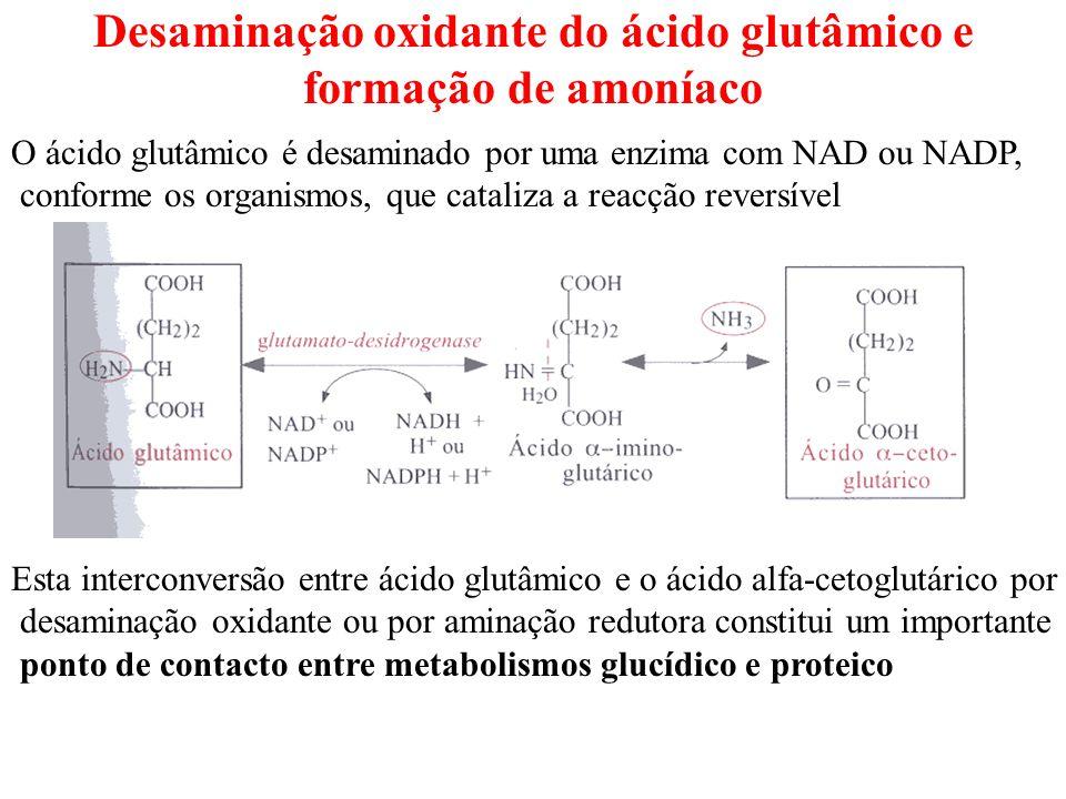 Catabolismo – Destino do grupo amina Os aminoácidos que os organismos não utilizam na biossíntese das proteínas ou de outras biomoléculas => combustível metabólico Uma grande parte desses grupos amina é convertida, nos vertebrados, em ureia Em todos os organismos o esqueleto carbonado resultante da desaminação é transformado em acetil-coA, acetoacetil-coA, ácido pirúvico, ou em intermediários do Ciclo de Krebs O amoníaco resultante da degradação dos aminoácidos e que não é utilizado na biossíntese de compostos azotados vais ser excretado na forma de NH4 (em muitos animais aquáticos), na forma de ácido úrico (aves e répteis terrestres) e na forma de ureia (maior parte dos mamíferos terrestres) Ciclo da Ureia, ureogénese ou ciclo de Krebs-Henseleit