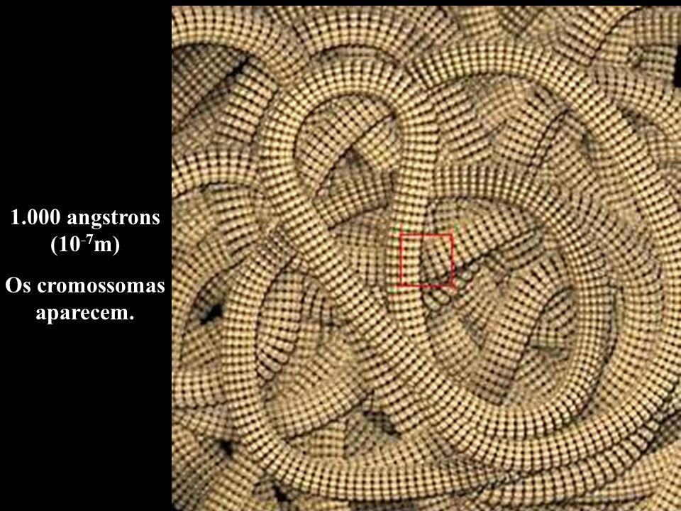 1.000 angstrons (10 -7 m) Os cromossomas aparecem.