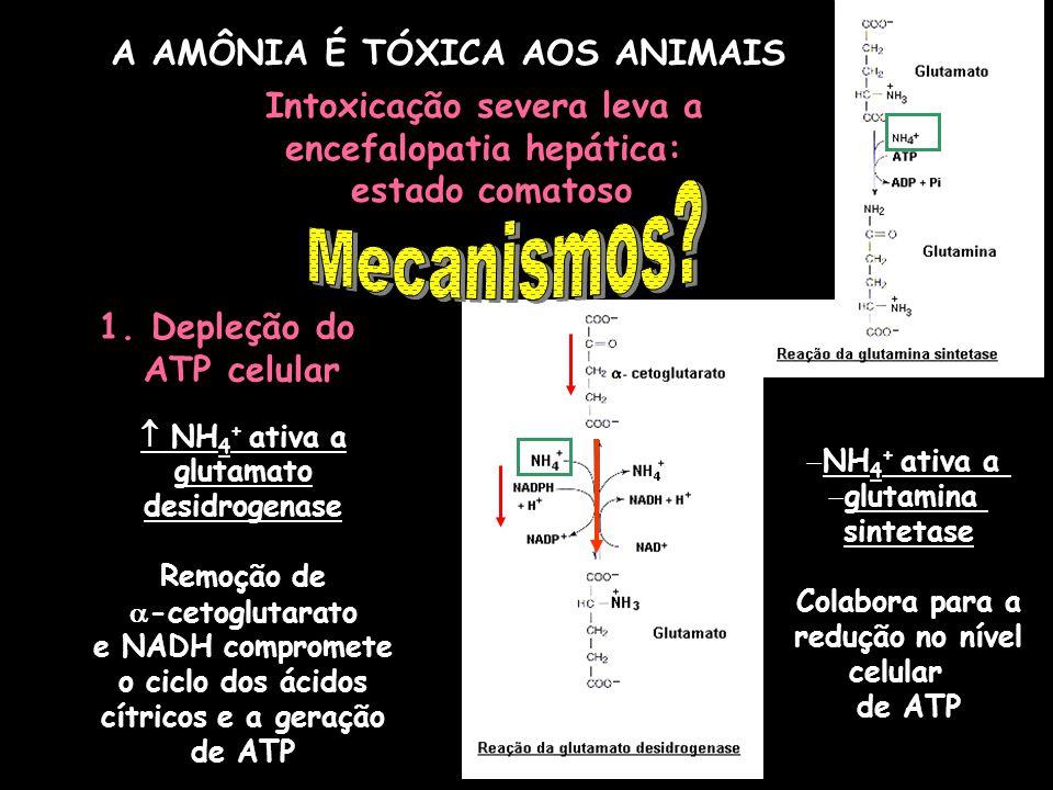 1.Depleção do ATP celular NH 4 + ativa a glutamato desidrogenase Remoção de -cetoglutarato e NADH compromete o ciclo dos ácidos cítricos e a geração d