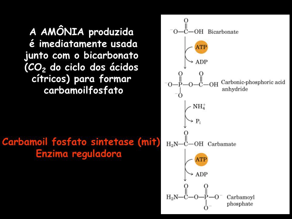 A AMÔNIA produzida é imediatamente usada junto com o bicarbonato (CO 2 do ciclo dos ácidos cítricos) para formar carbamoilfosfato Carbamoil fosfato si