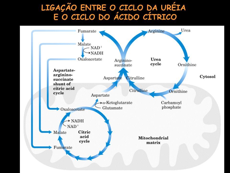 LIGAÇÃO ENTRE O CICLO DA URÉIA E O CICLO DO ÁCIDO CÍTRICO