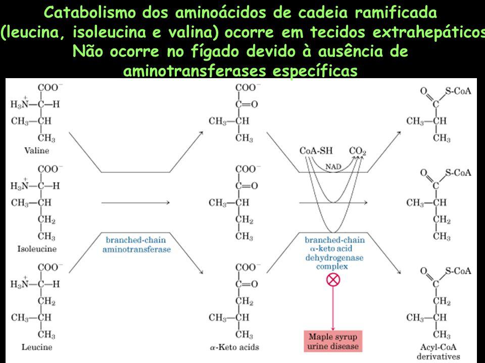 Catabolismo dos aminoácidos de cadeia ramificada (leucina, isoleucina e valina) ocorre em tecidos extrahepáticos Não ocorre no fígado devido à ausênci