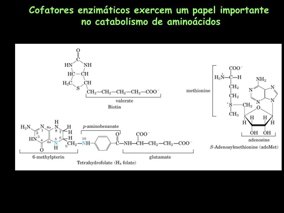 Cofatores enzimáticos exercem um papel importante no catabolismo de aminoácidos
