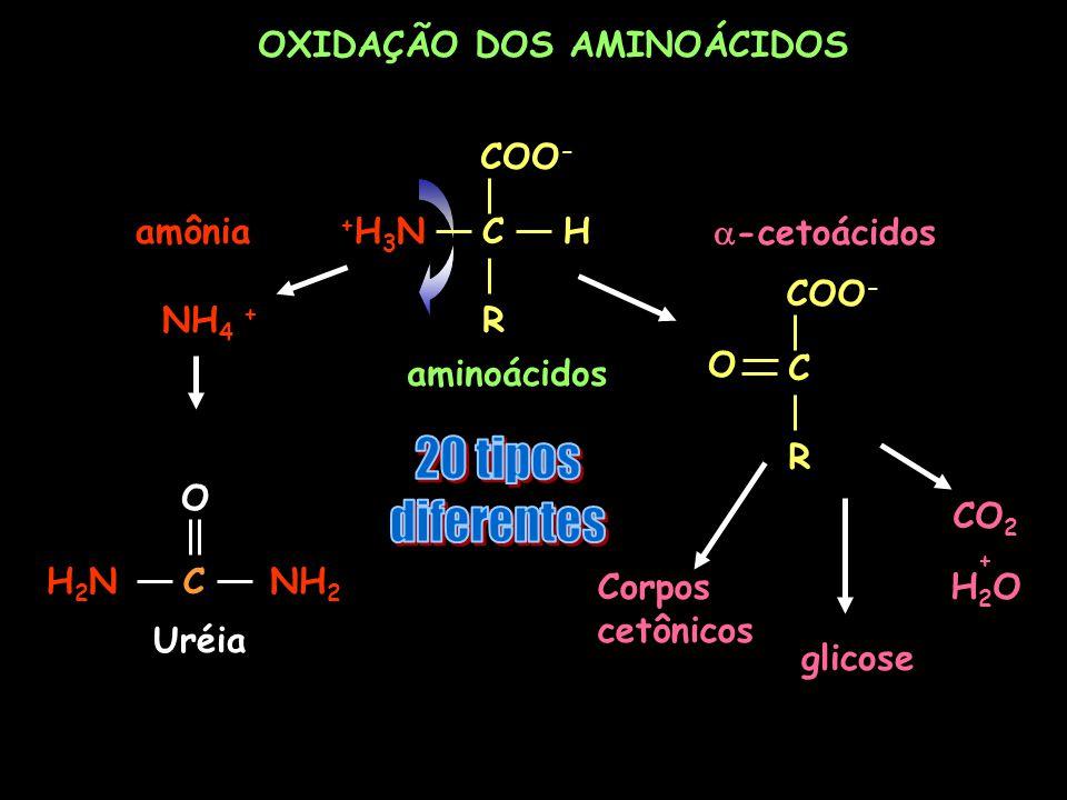 OXIDAÇÃO DOS AMINOÁCIDOS O CNH 2 H2NH2N Uréia COO - CH R +H3N+H3N aminoácidos CO 2 + H 2 O glicose Corpos cetônicos NH 4 + amônia COO - C R O -cetoáci