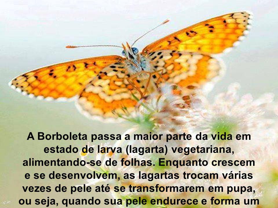 A Borboleta passa a maior parte da vida em estado de larva (lagarta) vegetariana, alimentando-se de folhas.