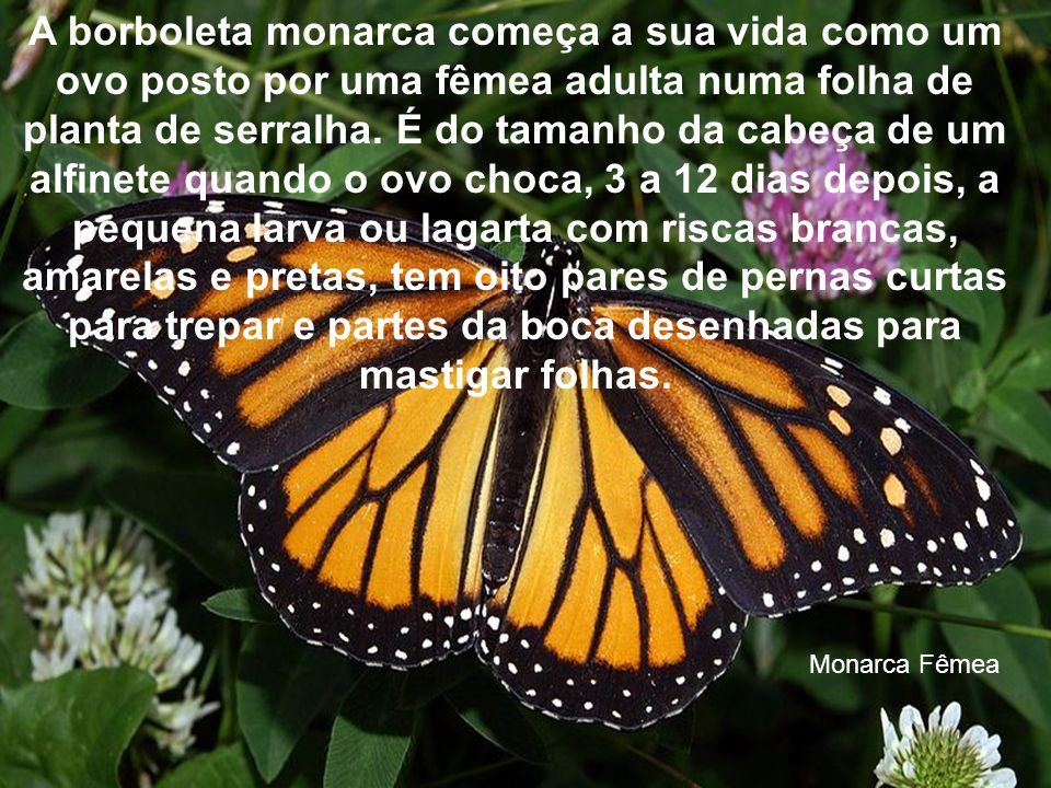 A borboleta monarca começa a sua vida como um ovo posto por uma fêmea adulta numa folha de planta de serralha.