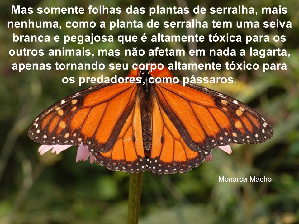 A borboleta monarca começa a sua vida como um ovo posto por uma fêmea adulta numa folha de planta de serralha. É do tamanho da cabeça de um alfinete q