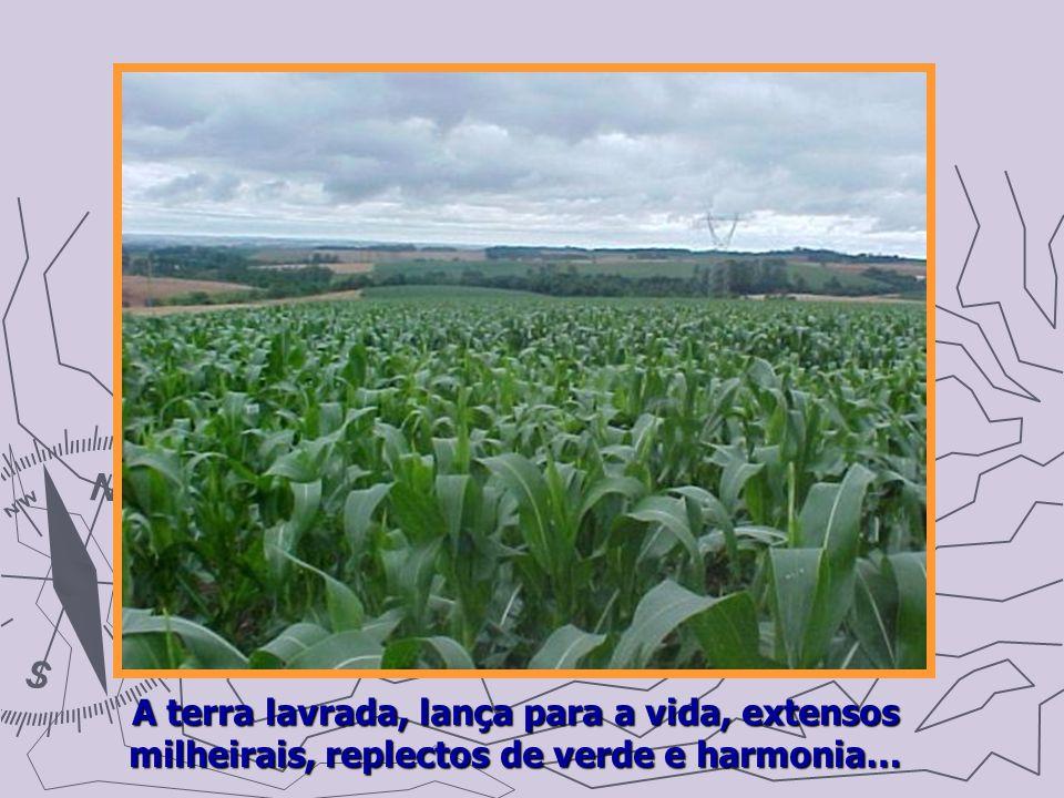 A terra lavrada, lança para a vida, extensos milheirais, replectos de verde e harmonia…
