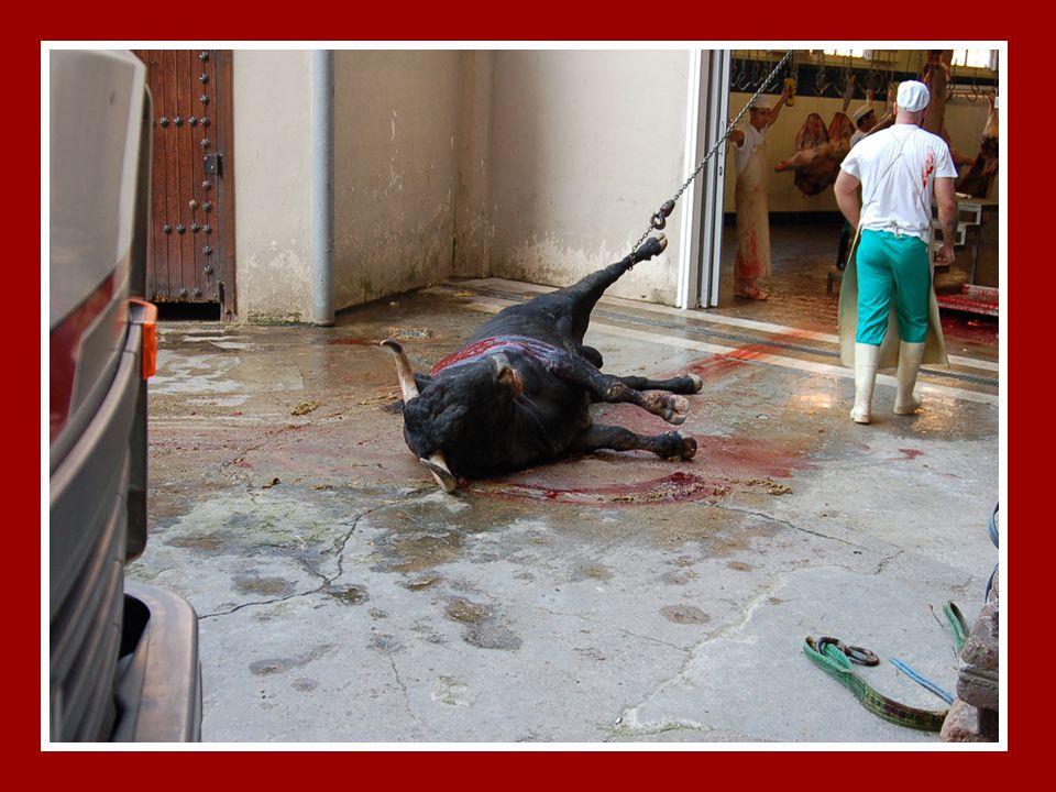 Antonio Gala, ex-toureiro, nascido em 1937, escreveu na crónica dominical do El País, a 30 de Julho de 1995, um artigo no qual confessava a sua conversão a anti-taurino: E de repente [o touro] olhou para mim.