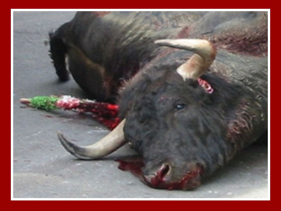 Alguns acreditam ser muito valentes mas isso é uma grande mentira… Porque, desde pelo menos 24 horas antes de entrar na arena, o touro é mantido numa prisão às escuras, para que ao soltarem-no, a luz e os gritos dos espectadores o assustem e ele tente fugir, saltando as barreiras, o que produz no público a ilusão de que o touro é feroz, mas a condição natural do touro é fugir, NÃO é atacar… Cortam-lhe os cornos para proteger o toureiro.