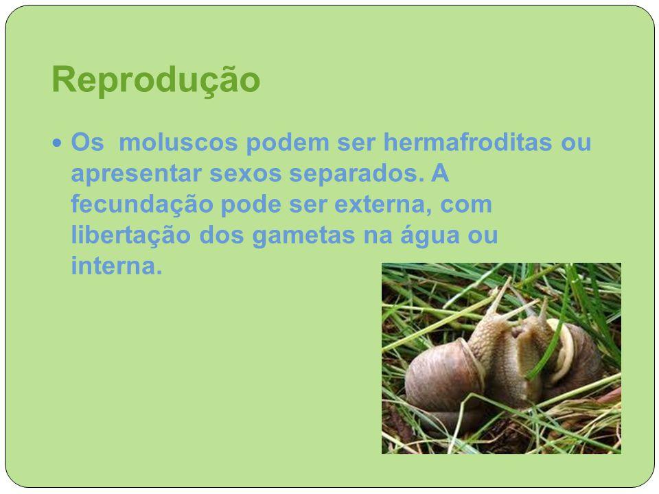 Reprodução Os moluscos podem ser hermafroditas ou apresentar sexos separados. A fecundação pode ser externa, com libertação dos gametas na água ou int
