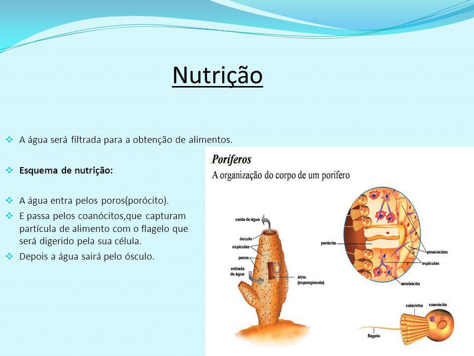 Nutrição A água será filtrada para a obtenção de alimentos. Esquema de nutrição: A água entra pelos poros(porócito). E passa pelos coanócitos,que capt