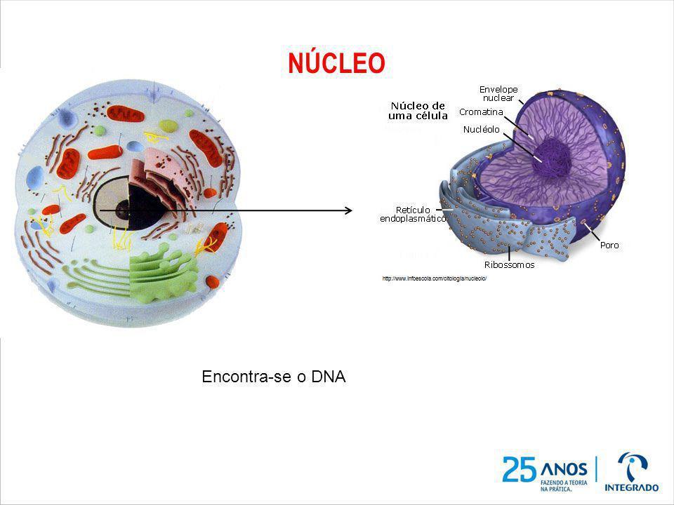 NÚCLEO Encontra-se o DNA