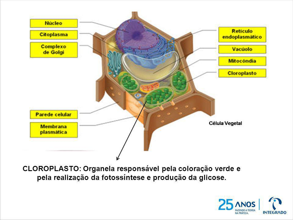 CLOROPLASTO: Organela responsável pela coloração verde e pela realização da fotossíntese e produção da glicose.