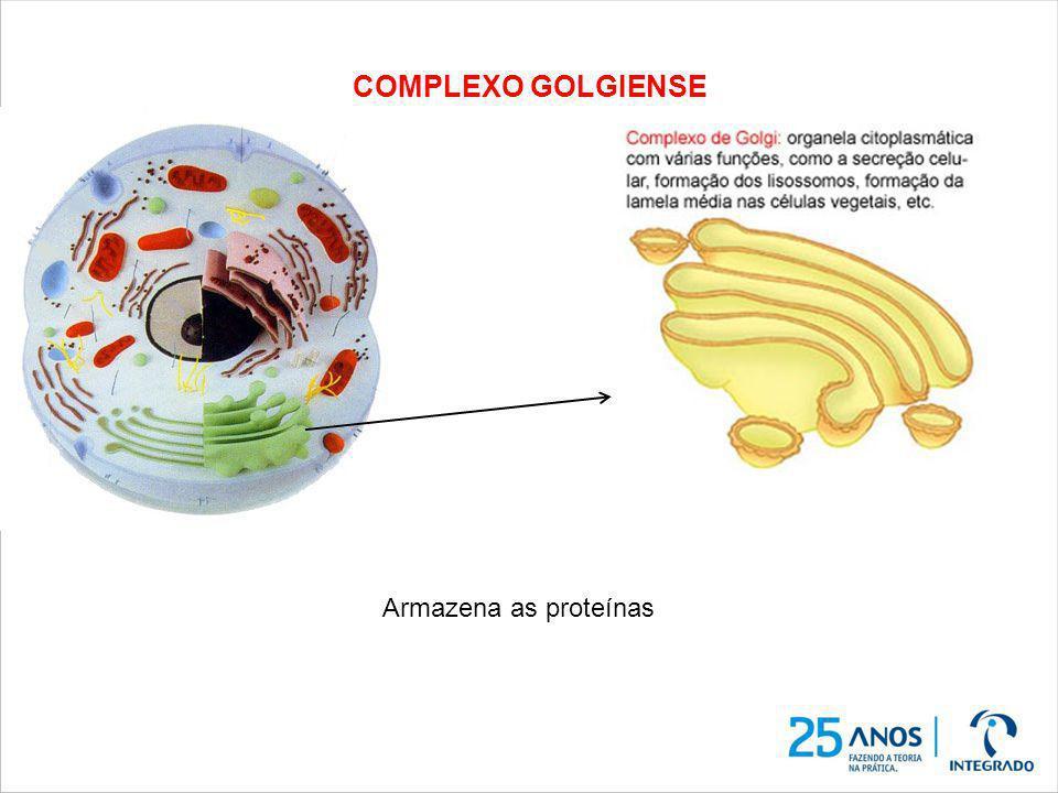 COMPLEXO GOLGIENSE Armazena as proteínas