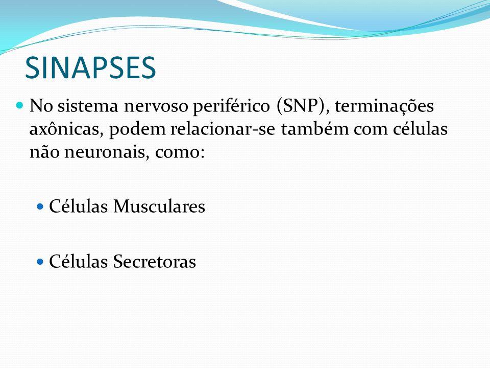 No sistema nervoso periférico (SNP), terminações axônicas, podem relacionar-se também com células não neuronais, como: Células Musculares Células Secr