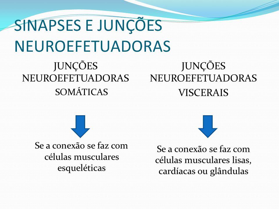 SINAPSES E JUNÇÕES NEUROEFETUADORAS JUNÇÕES NEUROEFETUADORAS SOMÁTICAS Se a conexão se faz com células musculares esqueléticas JUNÇÕES NEUROEFETUADORA