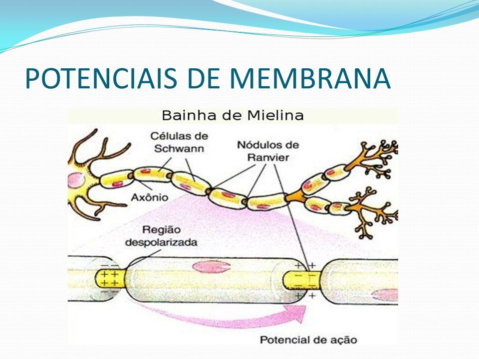 SINAPSES Os neurônios entram em contato com outros neurônios, passando-lhes informações, principalmente através de suas terminações axônicas.