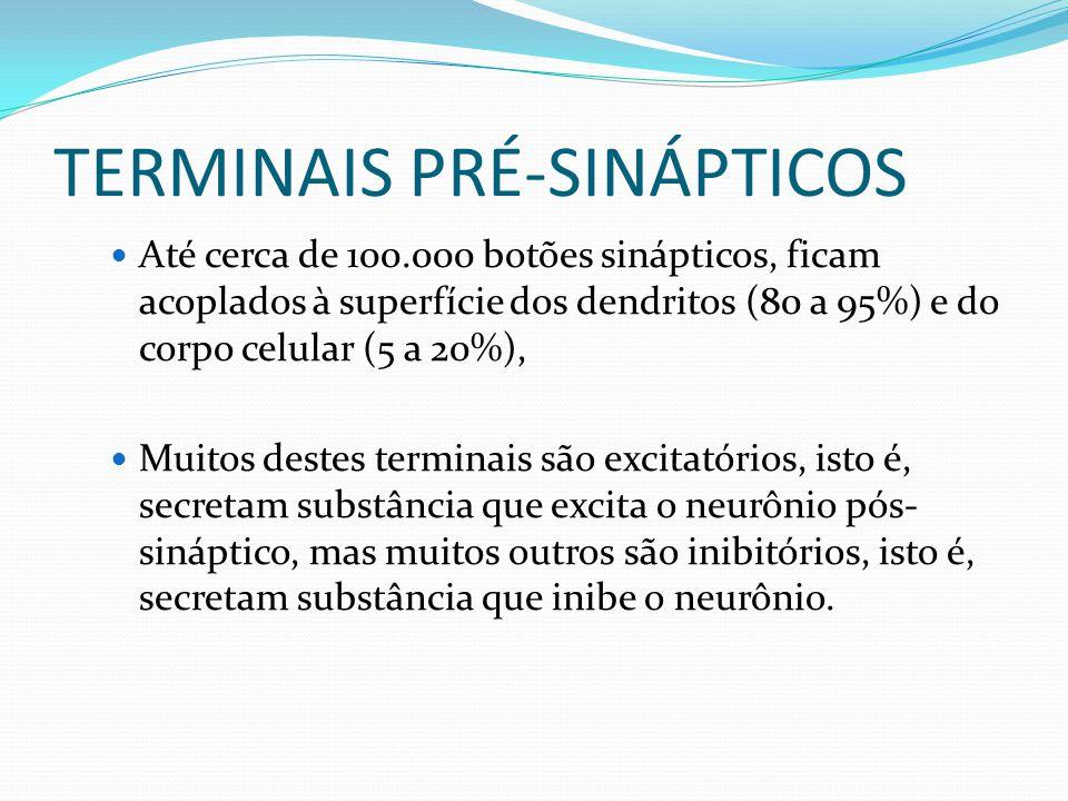 TERMINAIS PRÉ-SINÁPTICOS Até cerca de 100.000 botões sinápticos, ficam acoplados à superfície dos dendritos (80 a 95%) e do corpo celular (5 a 20%), M